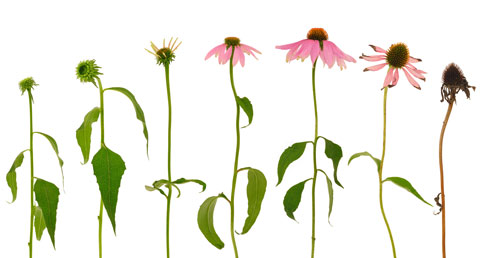 Learn how to grow and harvest echinacea in your home garden.
