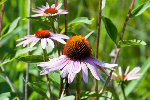 Echinacea purpurea, also known as Eastern purple coneflower, is one of three main species of echinacea used for herbal medicine.