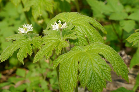 Goldenseal (Hydrastis canadensis) is a traditional medicinal herb.